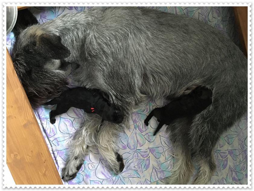 Am 18. September abends sind die beiden F2-Kinder geboren: 1 Rüde - 550 g, 1 Hündin - 510 g